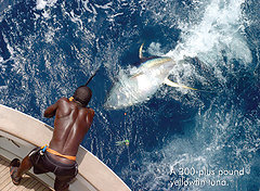 Nice Yellowfin Tuna